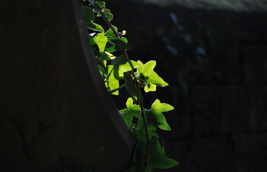 Back Lit Beauty In Nature Botany Close-up Dark Day Focus On Foreground Grave Stone Green Green Color Growth Hedera Helix Ivy Leaves Leaf Fine Art Photography Lush Foliage Nature No People Outdoors Peaceful Plant Colour Of Life Selective Focus Natures Diversities Color Palette