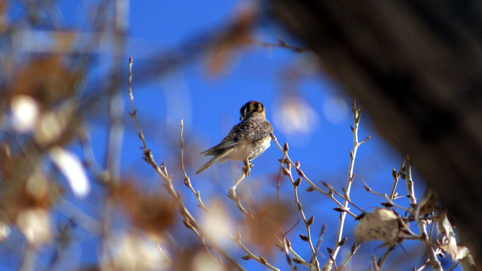 American Kestrel from rear, between out-of-focus branches. Birdwatching Falcon Out Of Focus Animal Themes Animal Wildlife Animals In The Wild Avian Beauty In Nature Bird Day Kestrel Kestrel Falcon Nature No People One Animal Out Of Focus On Purpose Outdoors Perching Tree