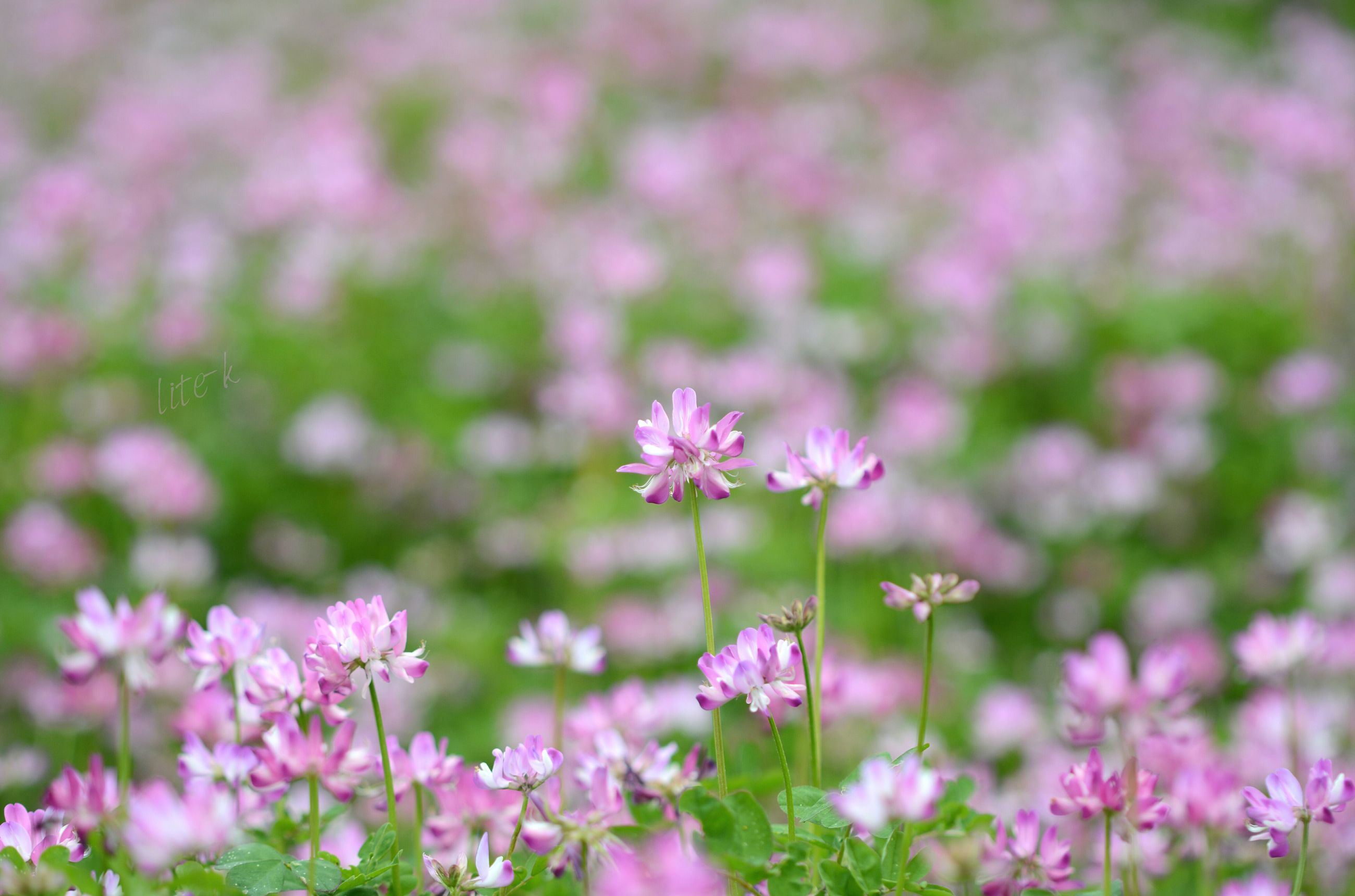 flower, freshness, fragility, growth, pink color, beauty in nature, petal, focus on foreground, purple, nature, blooming, flower head, plant, close-up, field, selective focus, in bloom, stem, outdoors, day