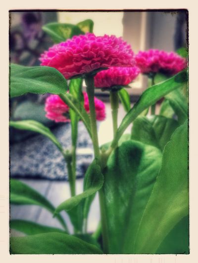 Flower Plant Fragility Freshness Nature Pink Color Beauty In Nature Close-up Petal Flower Head Growth Purple No People Day Outdoors Made By Noesie Huawei P9 Plus Photography Millennial Pink With Filters EyeEmNewHere The Week On EyeEm