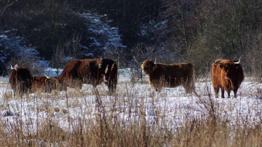 Yaks On Snow Covered Landscape
