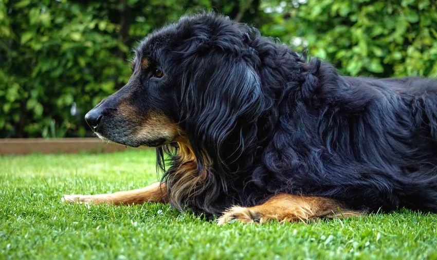 Dog Pets Domestic Animals Grass One Animal Animal Themes Mammal No People Nature Day Close-up Outdoors Hovawart Dog Profile Nature Old Furry Furry Friends Hairy  Male Frankfurt Germany Mammals Carnivora Black