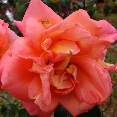 Coral Color Beautiful Details Perspective Photography Rose - Flower Details Of Nature