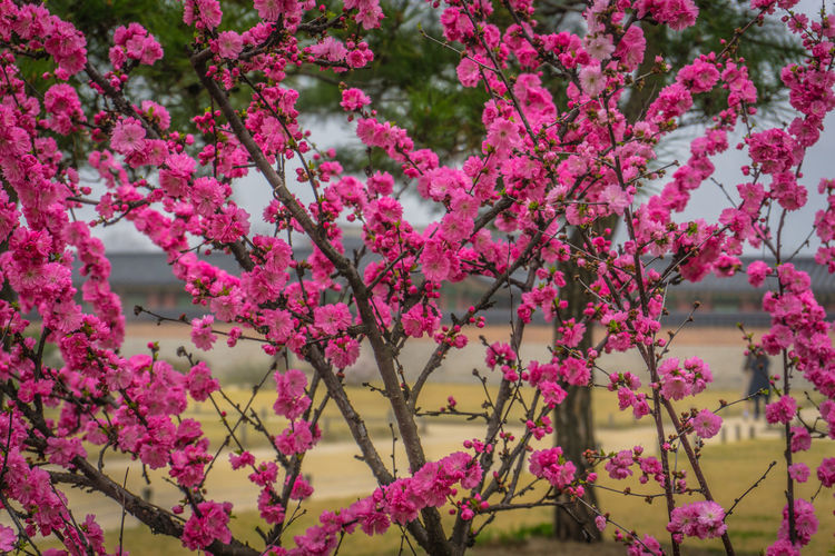 cherry blossom during spring at seoul, korea Flowering Plant Flower Plant Growth Freshness Fragility Beauty In Nature Vulnerability  Tree Blossom Springtime Nature Branch No People Day Cherry Blossom Outdoors Flower Head Cherry Tree Sakura Trees Korea Japan Close Up Temple Garden