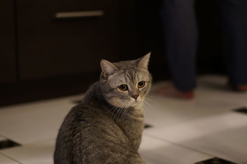 Animal Themes British Shorthair Close-up Day Domestic Animals Domestic Cat Feline Indoors  Kids Mammal No People One Animal Pets Portrait Tabby Cat