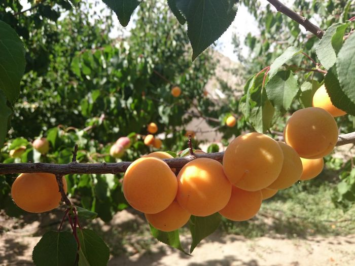 Close-up of peaches growing on branch