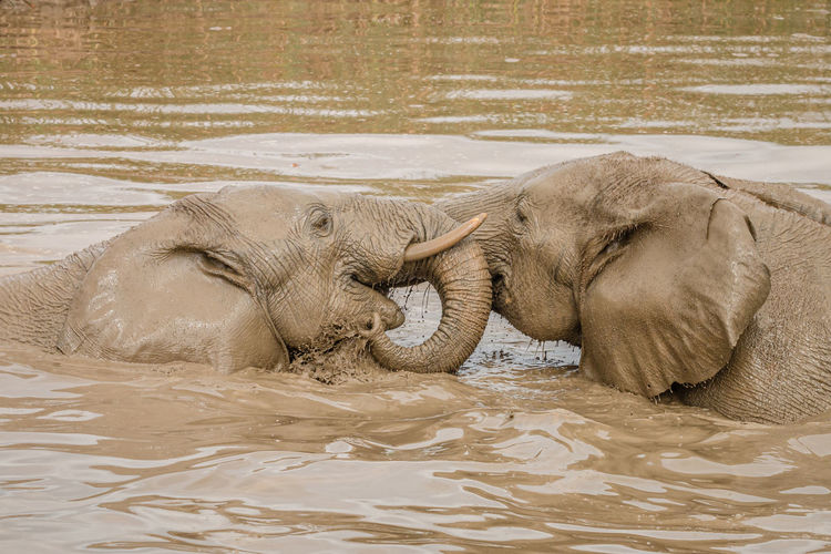 Side view of elephant drinking water