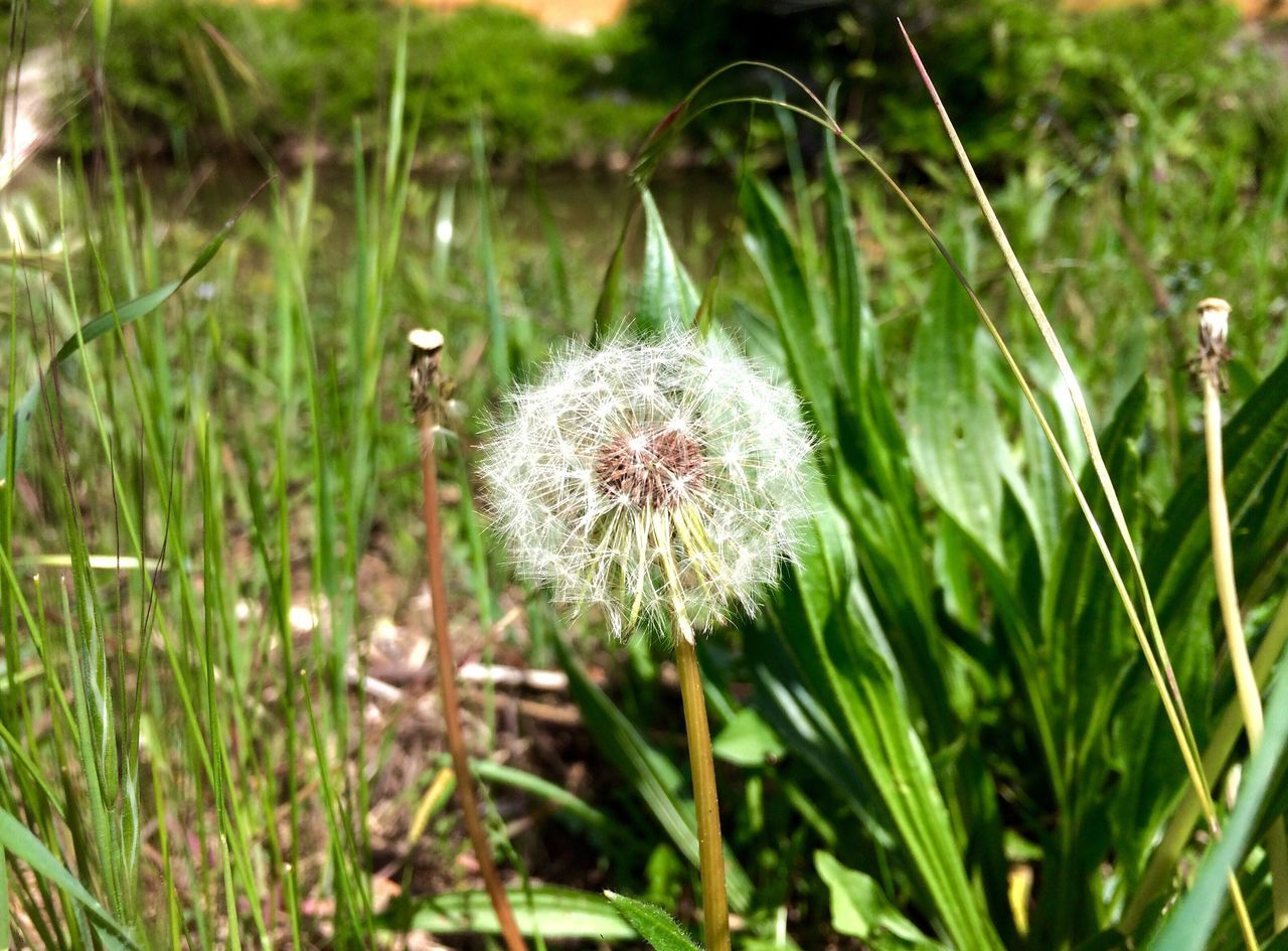 growth, flower, dandelion, nature, softness, plant, fragility, uncultivated, freshness, beauty in nature, flower head, grass, outdoors, no people, close-up, day