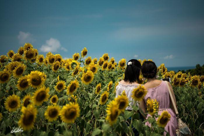 注目の的 D750 Fukuokadeeps のこのしまアイランドパーク 能古島 ひまわり 向日葵 Sunflower Yellow Flowerporn Summer Flower Flower Head 花 Lightroom Edit Island Nature Beauty In Nature Girls