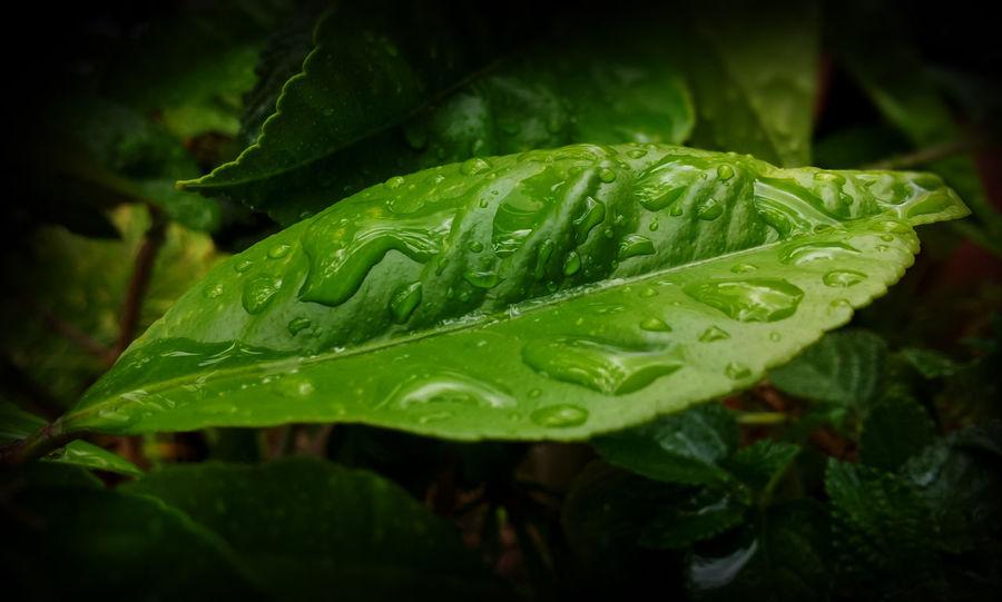 citrus limon #EyeEmEsterlinda #italy Beauty In Nature Botany Freshness Green Green Color Leaf Leaf Vein Nature Plant Rain Rainy Water Wet