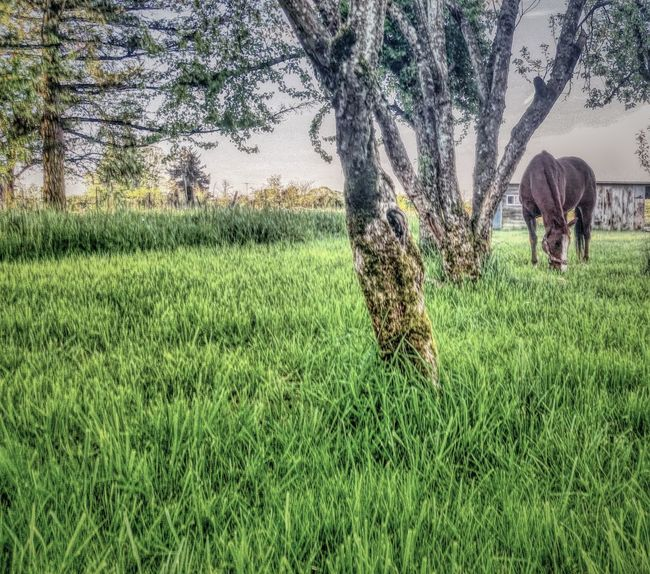 Quarterhorse Gelding Horse Rodeo ❤ Rescue Horse Horse Photography  Filtered Image Horse Love Grazing Oregon