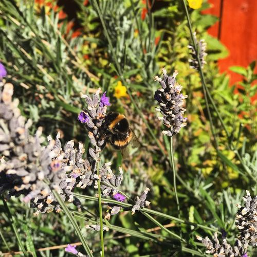 Bee. Just Bee. Manchester. Animal Themes Animal Wildlife Animals In The Wild Beauty In Nature Bee Bumblebee Buzzing Close-up Day Flower Flower Head Fragility Freshness Growth Honey Bee Insect Nature No People One Animal Outdoors Petal Plant Pollination Purple Symbiotic Relationship