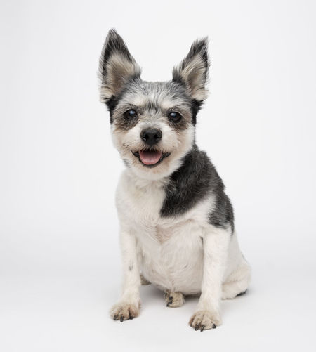Animal Animal Themes Canine Cut Out Dog Domestic Domestic Animals Front View Full Length Indoors  Looking At Camera Mammal Mouth Open No People One Animal Pets Portrait Sitting Studio Shot Vertebrate White Background