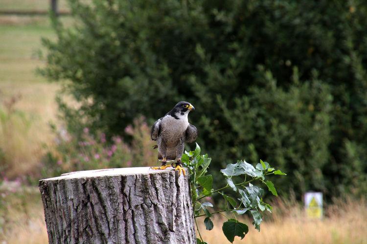 Close-up of peregrine falcon perching on tree stump