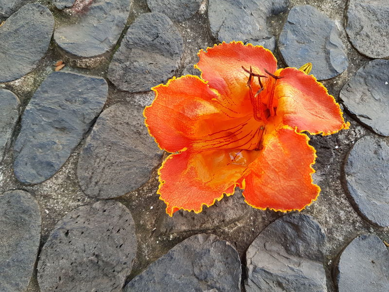 Nature Photography Nature_collection Blossom Orange Color Pebble Pebble Stones Road Paving Copplestone Bildfolge Photography Madeira Island Vacation Time Tree Blooming Bloom Day Outdoors Nature No People Textured  Close-up High Angle View Backgrounds Fragility Beauty In Nature Flower Growth Flower Head Blooming Freshness Plant