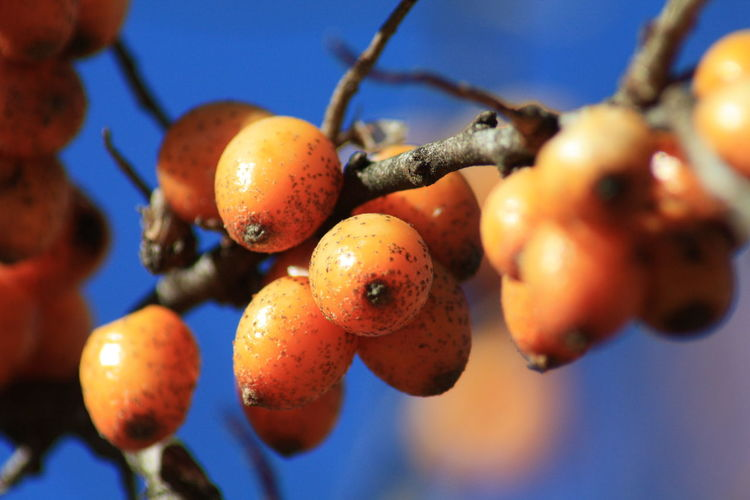 Outdoors Outdoor Photography Fruits Freshness Seasonal Gardening In The Garden Sea Buckthorn Sea Buckthorn Fruit Sea Buckthorn Berries Scenics Scenery On Tour On Tour With My Handy Personal Perspective Card Design Art Photography Art is Everywhere Orange Color Food Photography Healthy Eating Focus On Foreground Focus Detail Details Of Nature Blue Sky Clear Sky Beauty In Nature Beauty In Ordinary Things Ripe