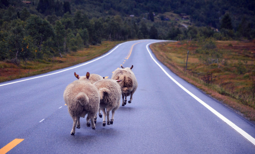 Sheep running on empty road in Norway EyeEmNewHere Nature Norway Road Running Stranda Travel Travel Photography Animals Curiosity Fjordnorway Møre Og Romsdal Outdoors Road Sheep Strange Street The Great Outdoors - 2018 EyeEm Awards