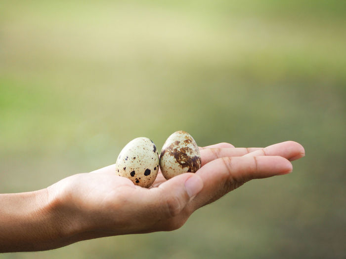Close-up of person holding quail eggs