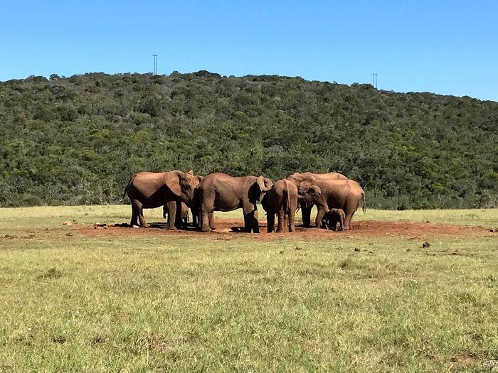 wildlife elephants south africa safari