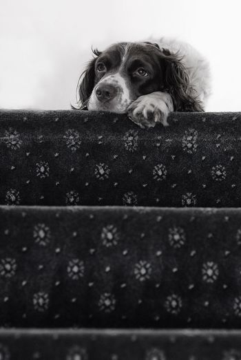 Daisy ponders life - Pet Photography  Dog Photography Gundog Dog Portrait Springer Spaniels Taking Photos Springer Spaniel