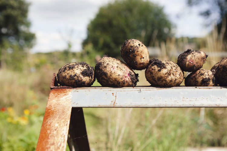 Close-up of fresh dirty potatoes on metal at farm