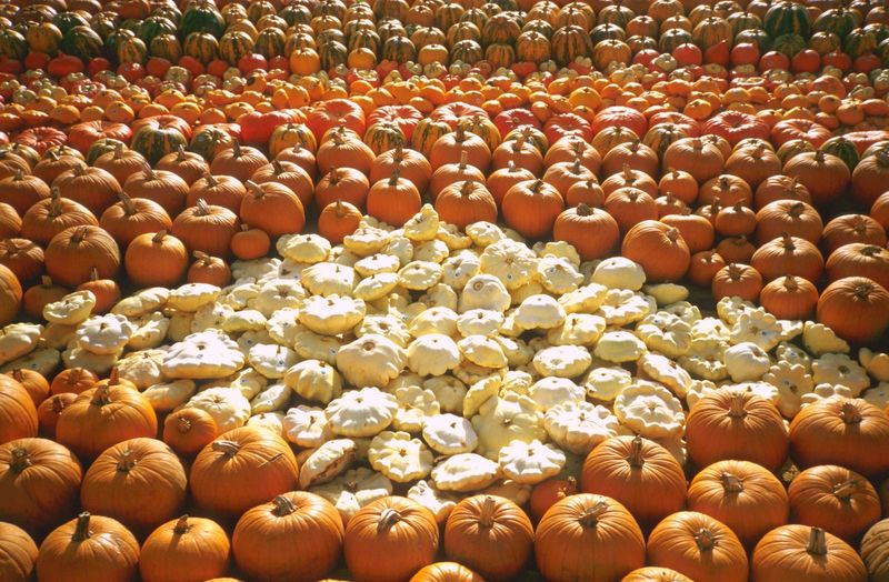Outdoors Vegetable Fruit Market Sunny Pumpkins Autumn Colors Autumn Pumpkin Arrangement Healty Food Abundance Large Group Of Objects No People Backgrounds Food Day