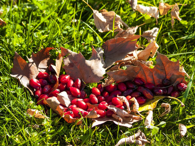 Autumn Autumn Colors Eco Freshness Nature Autum Fruit Environment Fall Food And Drink Freshness Fruit Healthy Eating Hip Hips Homeopathy Leaf Leaves Nature Organic Organic Food Red Rosa Canina Rosa Canina Hips Wild Rose Wild Rose Hip