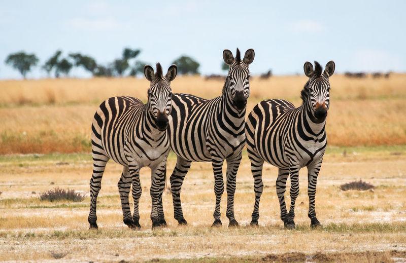 African Safari African Wildlife Animals In The Wild Safari Animals Three Zebras Zebra