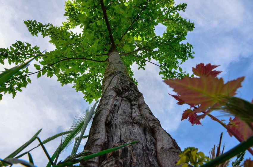 Perspective games. Tree Low Angle View Sky Tranquility Nature Beauty In Nature Green Non-urban Scene Outdoors Tree Trunk Perspective Art Countryside Photography Photooftheday Day No People Myfavoriteplace My Favorite Place