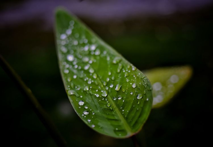 Drops on the leaves . Drop Water Close-up Leaf Wet Plant Part Green Color Plant Growth No People Selective Focus Beauty In Nature Vulnerability  Focus On Foreground Rain Outdoors Freshness Day Nature RainDrop