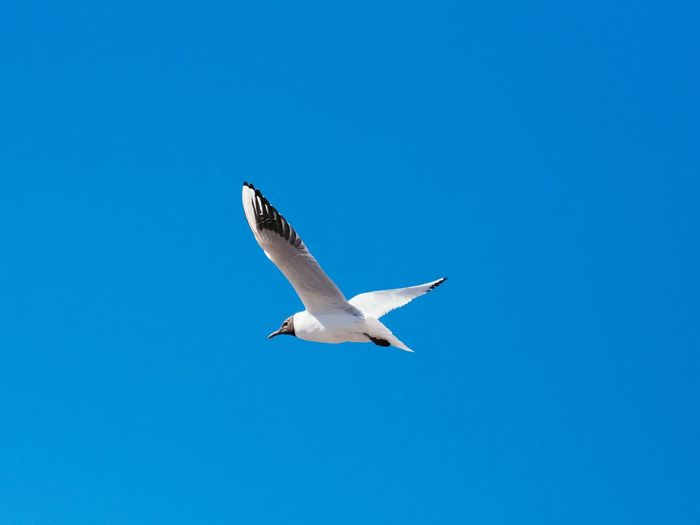 Bird Flying Blue Clear Sky One Animal Day Nature No People Spread Wings Animal Themes Animals In The Wild Sky