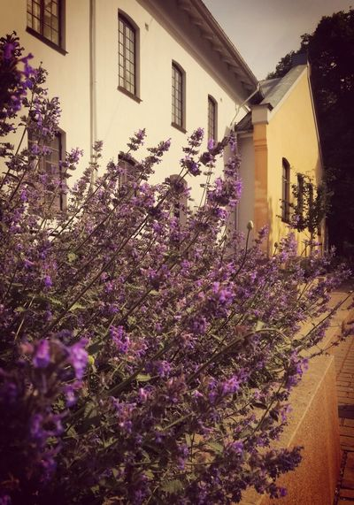 'Lavender FRESH' 2018 Oslo Beautiful Summer Warm Colors Afternoon Light Urban Tranquility Afternoon Beautiful Day City Life Moments Enjoying Life Photographing Flower Window Purple House Architecture Building Exterior Built Structure Lavender Colored Flowering Plant Lilac Blossom Plant Life Lavender Blooming Flowerbed In Bloom