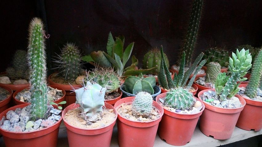 No People Outdoors Mobile Photography Cactus Cactus Garden Cactus Plant Plant Green Plant
