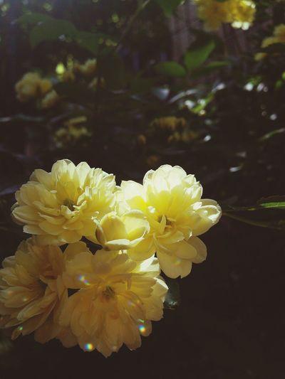 Flowers Flower Porn Nature Yellow Rose Banksiarose