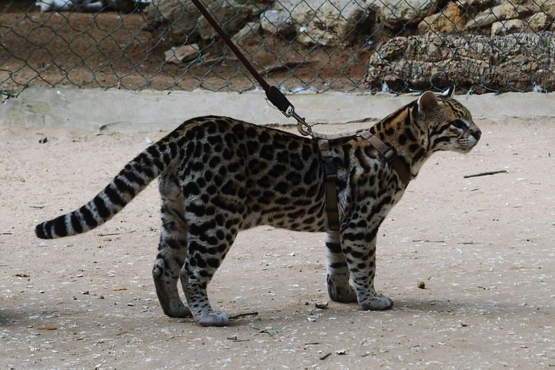 Nice cat Cat Cats 🐱 Cats Gato Gato😽 Gatos Animals Animal Animales Neko KAWAII One Animal Zoo Safari Animals Day Standing Leopard No People Cheetah Feline Outdoors Animal Themes