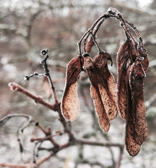 'Summers Seeds' Focus On Foreground Hanging Dry Close-up No People Winter Outdoors Nature Day Dried Plant Dried Dried Fruit Wilted Plant Seeds Hiding In Plain Sight Walking By Beautiful Winter Day Urbanexploration Urbexphotography URBd Nature Eyeemphotography Nature Tree Oslo Love KariJosefiné✨