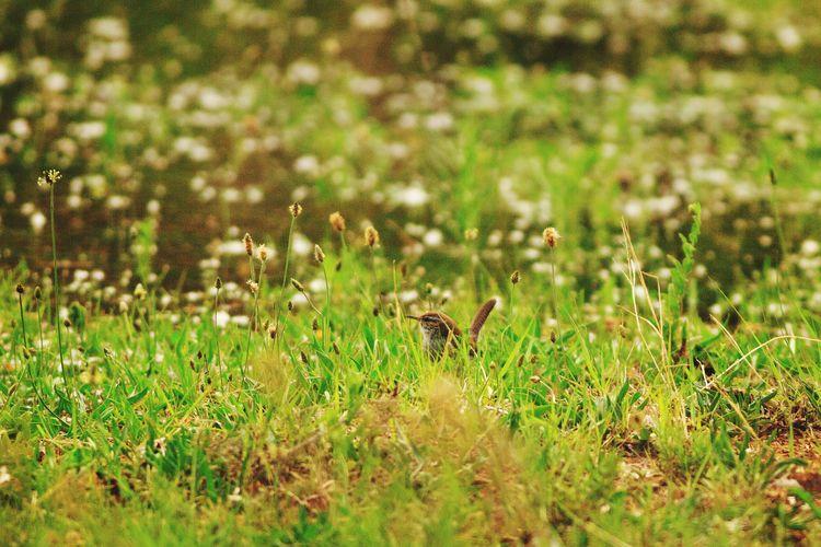Wren bird on grassy field