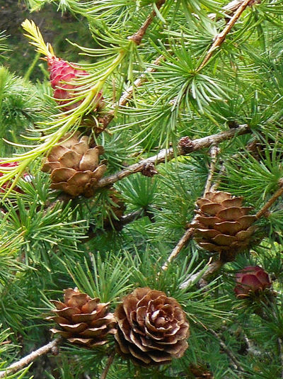 Background Close-up Digley Dell Growing Growth Holmfirth Natural Pattern Pine Cones Pine Tree Tree Yorkshire
