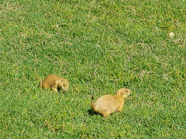 Grass Green Color No People Mammal Animal Themes Young Animal Nature Animals In The Wild Animal Wildlife Field Day Outdoors Growth Prairie Dogs Prairie Dog Animals Playing