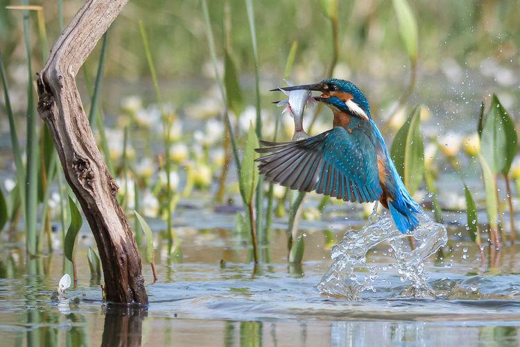 Kingfisher Take