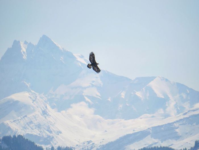 Bird in front of snowcapped mountains against sky