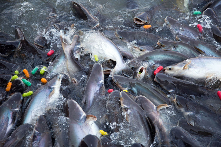 Feeding fish swimming on agriculture farm