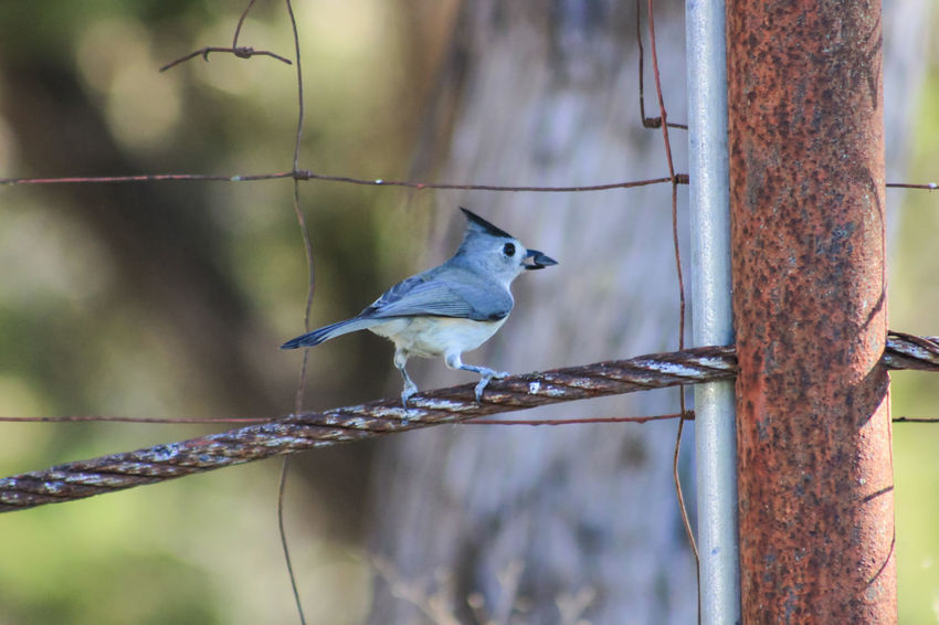 Texas Hill Country Wire Fence Perching One Animal Nature Close-up Bird No People Beauty In Nature Animal Wildlife Animals In The Wild Outdoors Animal Themes Titmouse Seed Silhouette