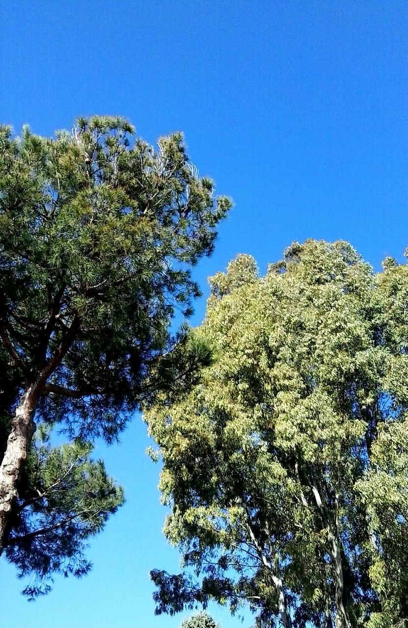 tree, nature, clear sky, blue, low angle view, growth, day, no people, beauty in nature, outdoors, blue sky, sky