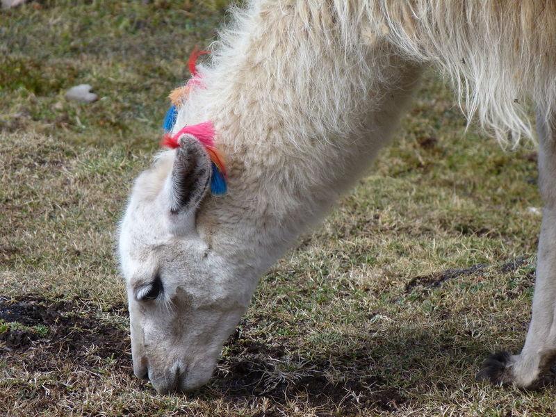 Marked llama feeding Animal Behavior Animal Head  Animal Themes Close-up Domestic Animals Feeding  Livestock Llama Marked