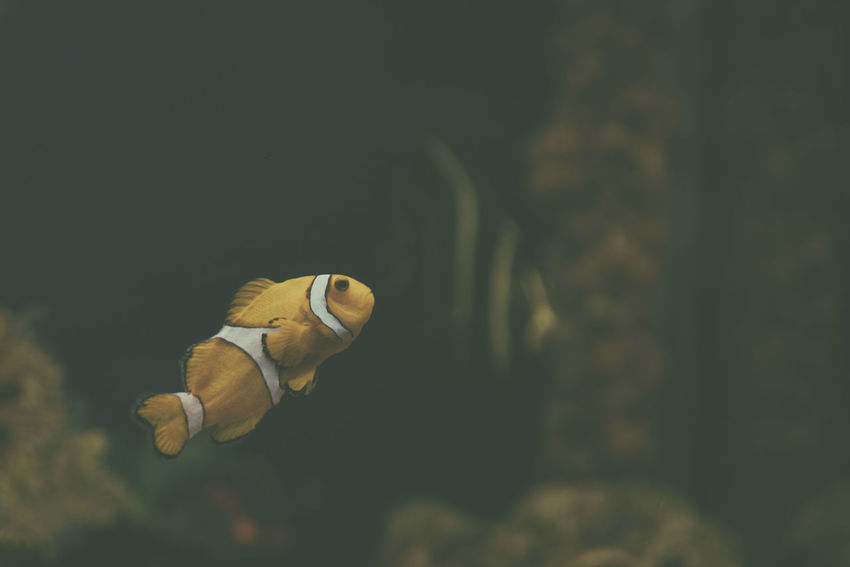 A clownfish (Amphiprion ocellaris) swims inside its tank in the local aquarium. Amphiprion Ocellaris Animal Themes Animal Wildlife Animals In The Wild Aquarium Aquarium Life Beauty In Nature Close-up Clown Fish Clownfish Day Fish Indoors  Mammal Nature No People One Animal Sea Life Swimming UnderSea Underwater Water