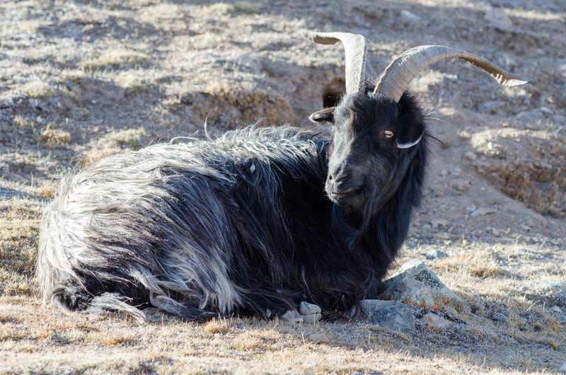 Portrait of an animal lying on field