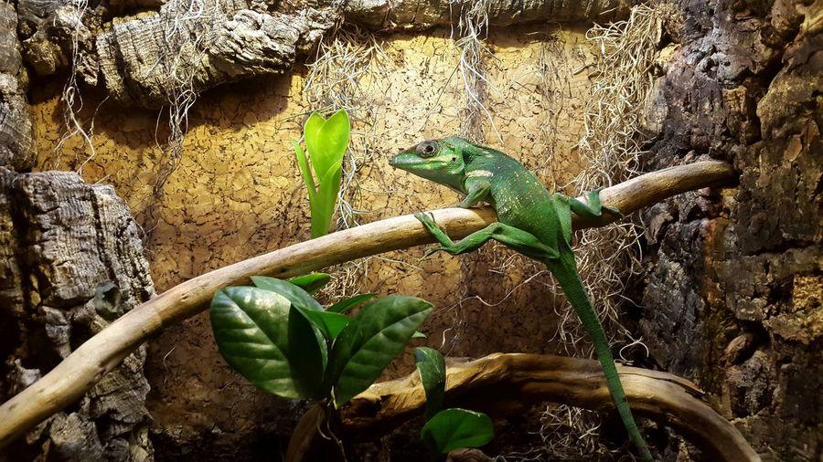 Animal Green Lizard Colors Enjoying Life EyeEm Wildlife Nice