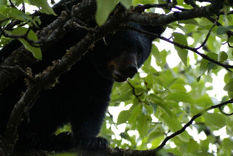 Alaska Animal Animal Themes Baby Bear Bear Bear In Tree Branch Juneau,AK Nature Outdoors Tree Young Bear