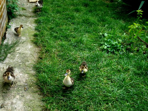 Little baby ducks 🕊️ Grass Nature Beauty In Nature Bird Ownphotos Hungary Naturelover Family LovetheSimpleThings Nature Home Garden Vegan Animallovers Peaceful Morning Lovelycreature Wonderful Nature Beautiful World